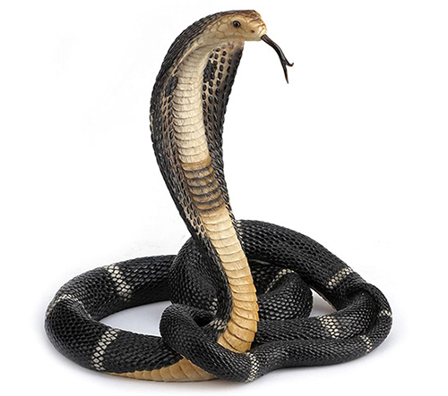 Photo of a King Cobra snake